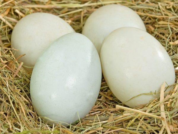 Разведение таких уток считается очень выгодным для получения и мяса, и яиц