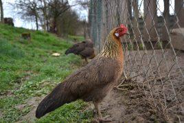 Описание Чешской породы кур
