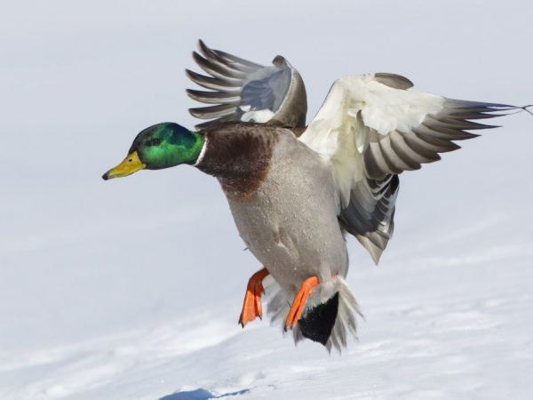 Дикие утки держатся в воздухе за счет постоянных взмахов крыльями