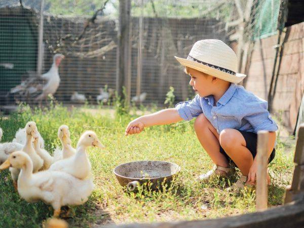 В первые дни утятам в качестве корма дают вареное яйцо, молоко, отруби, творог, зелень, дробленое зерно и первые 5 дней в воду добавляют витамины