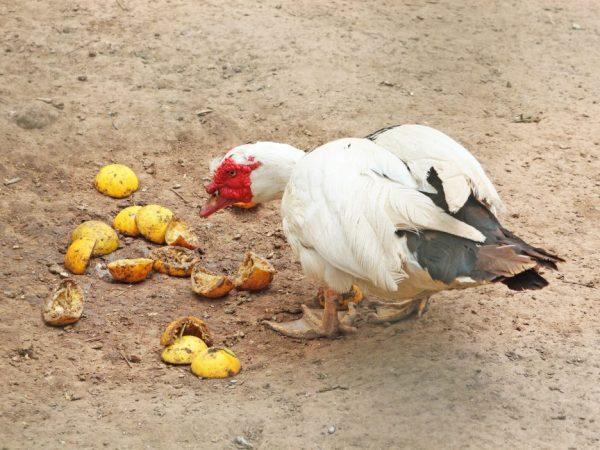 Индоутки экономичны в еде, любимое их лакомство, разнообразные кухонные отходы, ботва свеклы, садовая трава, а также варенный картофель