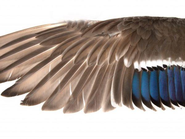 Первый метод предполагает обрезку маховых перьев параллельно стержню