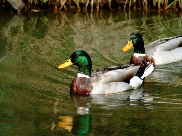 Период линьки у уток 2 раза в год – осенью и летом