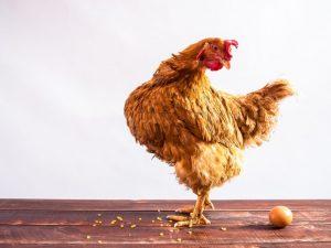 Могут ли куры нести яйца без петуха
