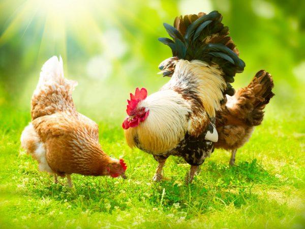 Отсутствие петуха не означает, что яиц не будет. Главное, чтобы был тёплый и чистый курятник и сбалансированное питание