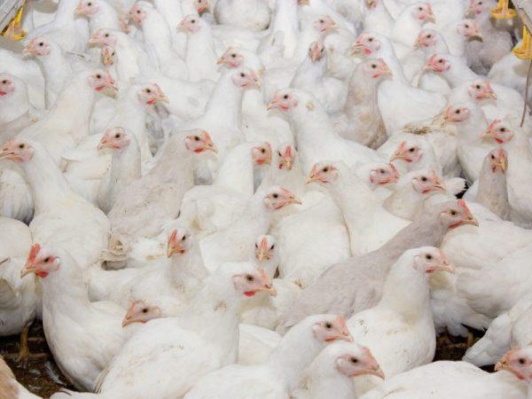 Бройлеров выращивают для получения мясной тушки, при правильном кормлении, они стремительно набирают вес