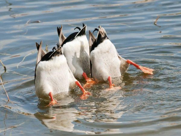 Нырковые утки