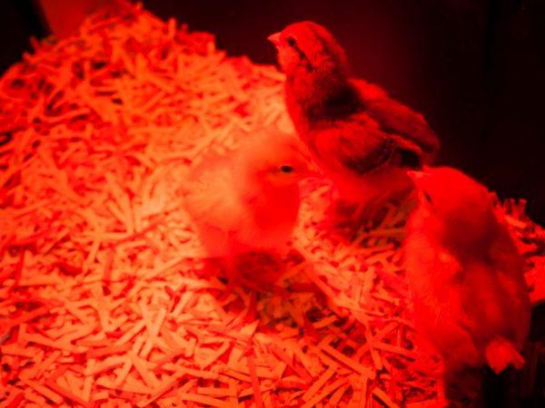 Благодаря инфракрасному обогревателю улучшается аппетит у птиц, они быстро растут и повышается сопротивляемость организма к инфекциям