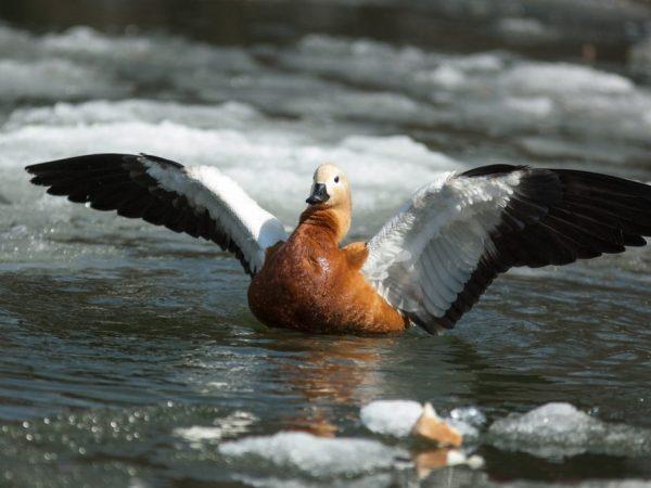 У красной утки массивное тело и длинная шея, на первый взгляд, ее можно спутать с гусем