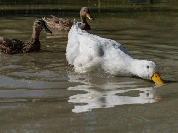 Рядом с птичником нужно обустроить место для купания уток