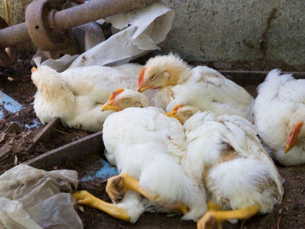 Выделяют 3 формы птичьего гриппа