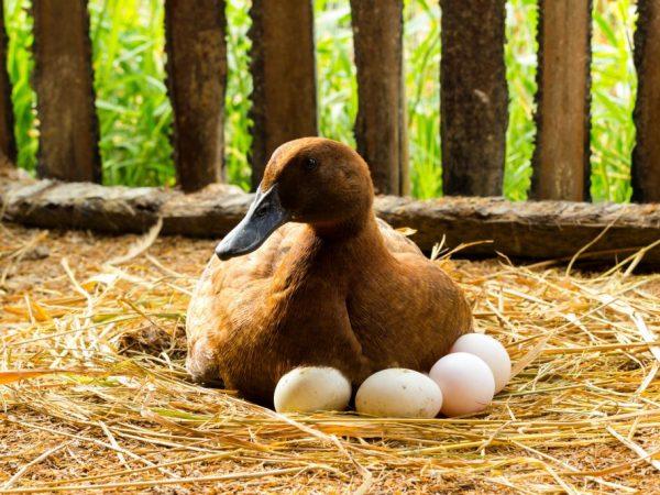 Сроки высиживания яиц у уток