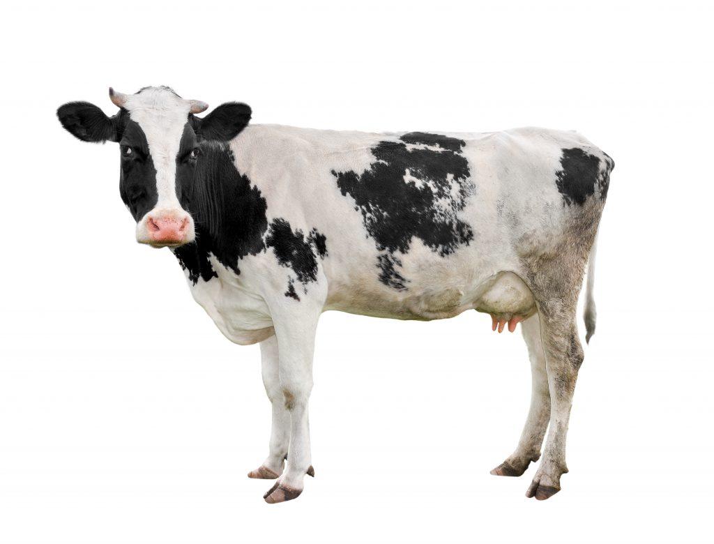 Бородавки у коровы на вымени: как лечить