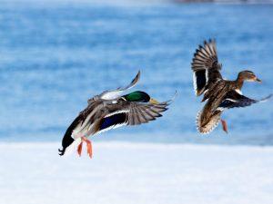 Куда на зиму улетают утки