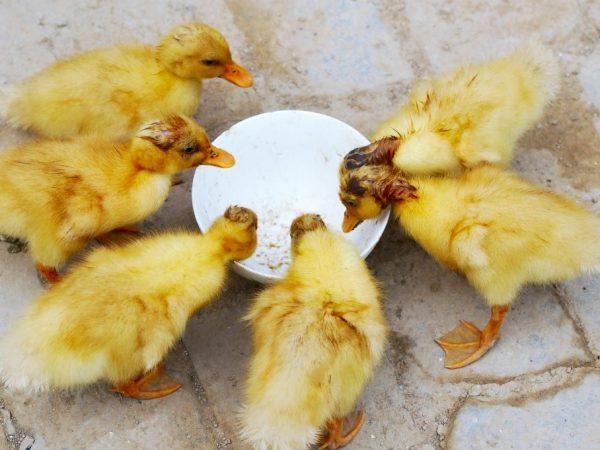 Чем питаются утки в домашних условиях