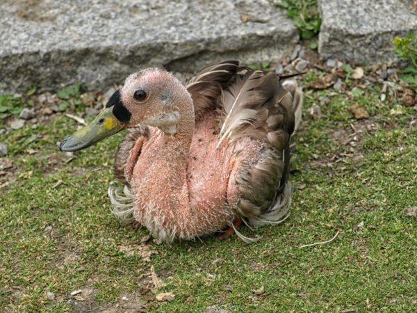 В результате постоянного щипания перьев утками друг у друга, приводит к развитию разнообразных инфекционных осложнений и заражение паразитами