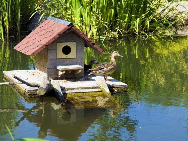 В летний период жилье для уток надо обустроить так, чтобы птицы могли максимально часто погулять, поплавать и полакомиться зеленью