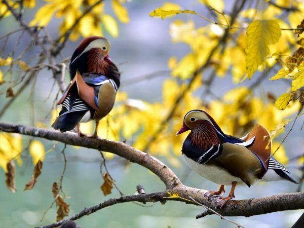 Естественная среда обитания мандаринки: горы около рек и горные леса. Она часто сидит на дереве или скале