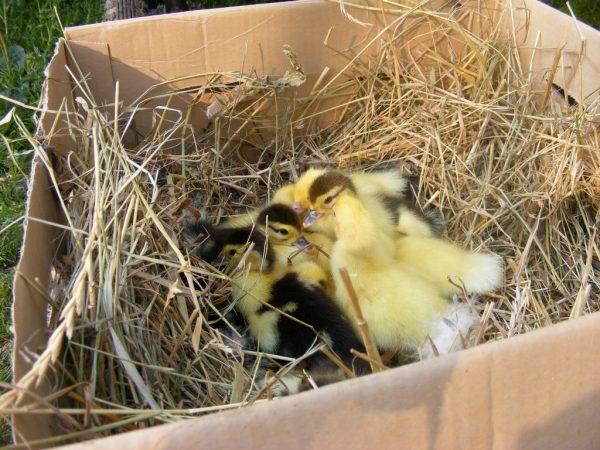 В виде гнезда возможно использовать корзину, ящик, коробку. Неглубокие ёмкости использовать не следует: будет неудобно, яйца могут выкатываться наружу