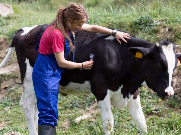 Для защиты коров от появления бородавок нужно следить за чистотой вымени. При появлении ранок и царапин их нужно обрабатывать, чтобы ускорить заживление