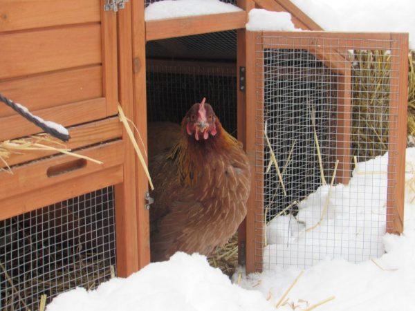 Помещение для зимнего содержания кур обязательно должно быть просторным, поскольку нахождение птиц в тесноте снижает их жизненные показатели