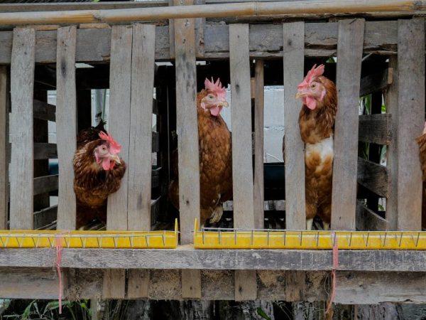 Освещение в клетках с курицами должно быть максимально равномерным - это снизит риск возникновения стресса у кур и, следовательно, обеспечит лучшую яйценоскость