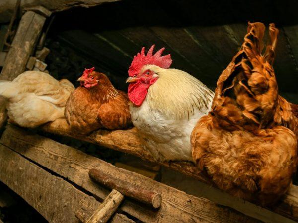 Отсутствие петуха сводит к нулю возможность выведения потомства, т.к именно от его участия зависит на формирование зародыша, из которого появляется цыпленок