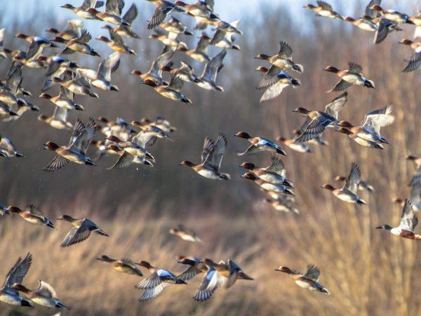 Зимой утка отправляется в страны, где климат более мягкий и комфортный для неё