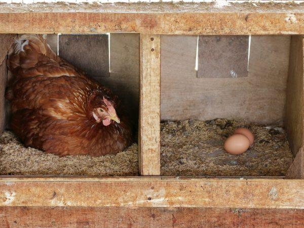 В качестве гнезда для несушек можно использовать плетеные корзины, картонные коробки, пластмассовые и деревянные ящики