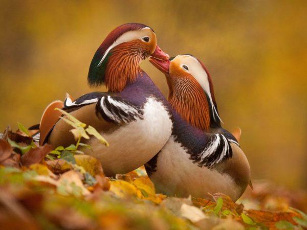 В брачный период самец обладает очень ярким окрасом, а затем линяет, приобретая более спокойное оперение. В этот период они собираются в зарослях и прячутся там
