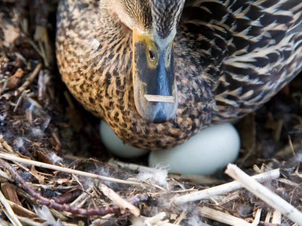 Чтоб усадить птицу на яичную кладку, нужно выбрать подходящую «кандидатуру», а потом обустроить мягкое и удобное гнёздышко