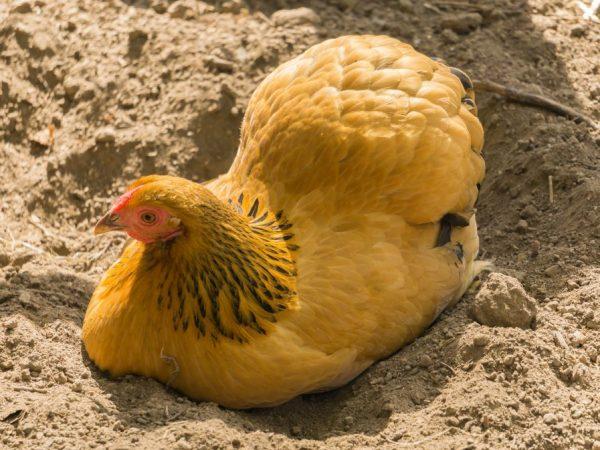 Если курицу обеспечить достаточным количеством витаминов и полноценным комбикормом в сочетании с цельным зерном, мясо будет качественным, а яйцо крупным