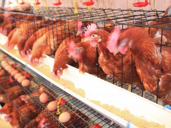 Клетки с яйцесборником удобны тем, что яйца из них выкатываются в специальные приёмники, они не пачкаются и не разбиваются