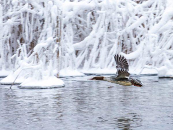 В зимние месяцы утки испытывают недостаток еды, т.к. основной их рацион – насекомые, а они умирают или впадают в спячку