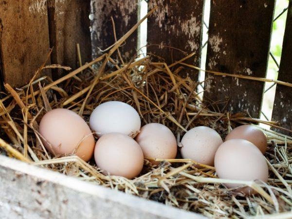 Если не организовать несушкам удобные гнезда, они начнут их устраивать спонтанно, в любом понравившемся им углу