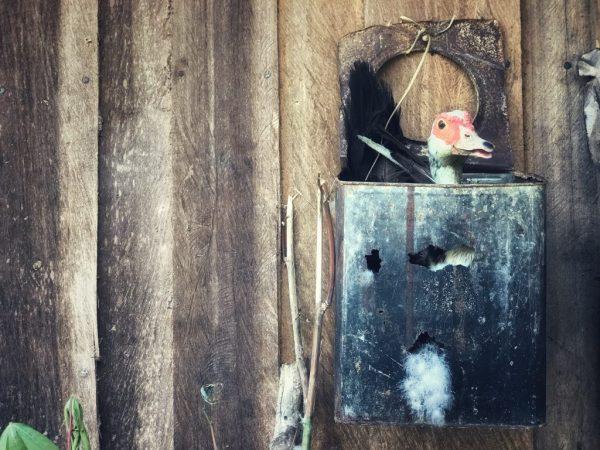 Когда утка готова к высаживанию яиц, она часто сидит в выбранном гнезде, а при попытке её поднять начинает пищать