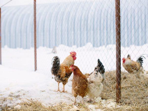 Зимой загон нужно защитить от ветра, а также предотвращать попадание снега. Для защиты можно использовать фанеру, паллеты, брезент, и даже тюки сена или соломы