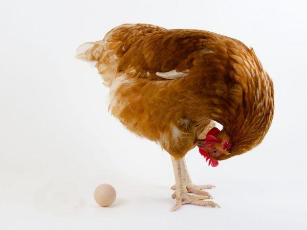 Чтобы повысить яйценоскость, курам необходимо давать достаточное количество углеводов. Они содержаться в картофеле, зерне, пшенице, моркови