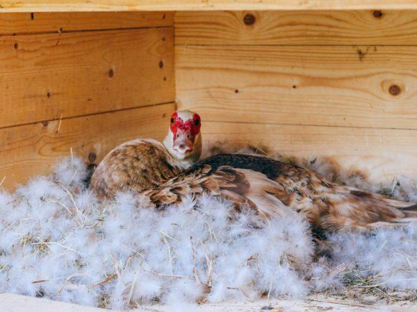 Гнездо должно располагаться в затенённых, сухих и тёплых местах, где никто не побеспокоит птицу, а внутри всё выстелено соломой либо опилками