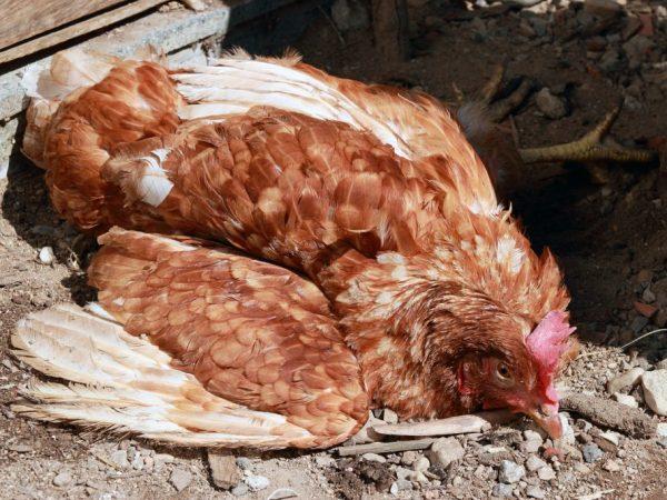 При неправильном уходе или несоблюдении санитарных норм, курица подвергается различным заболеваниям