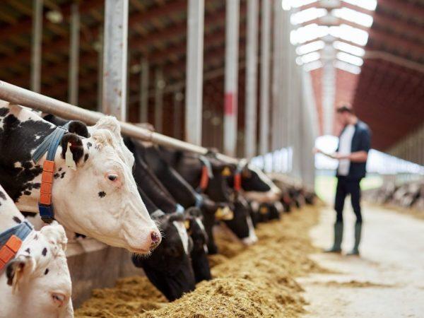 Сколько весит корова в разном возрасте
