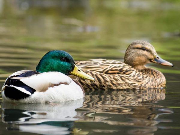 Существует классификация уток по среде обитания и индивидуальным особенностям