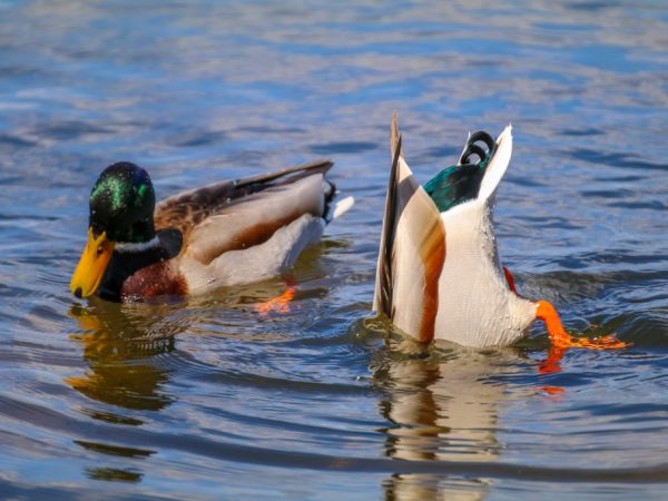 Интересный факт – утки умеют дышать под водой