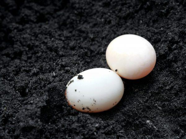 Размер яйца Индоутки чуть больше куриного, белок имеет плотную консистенцию, желток насыщенного оранжевого цвета