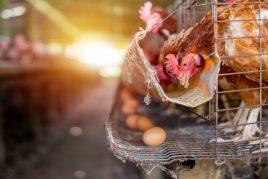 Описание яйценоских пород кур
