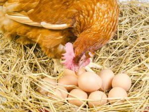 Сроки высиживания яиц курицей