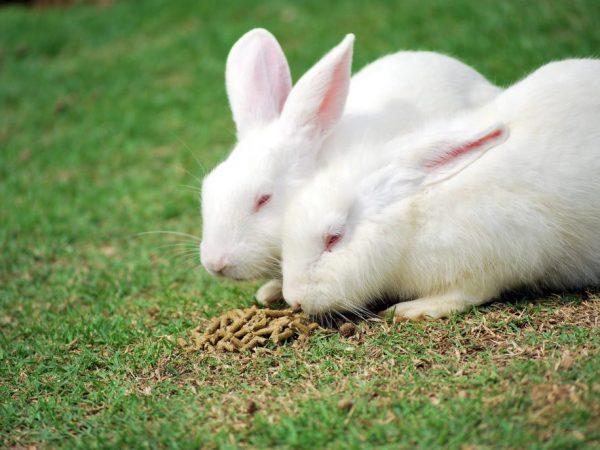 Кролики прекрасно адаптируются к различным видам корма. Они охотно поедают подвяленную траву, сено, свежие и отварные овощи