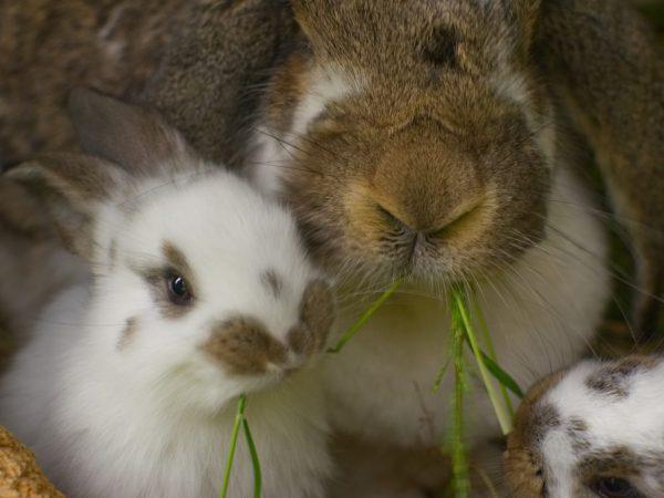 Особенности крольчих