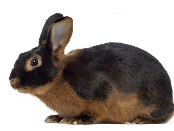 Описание черно - огненных кроликов