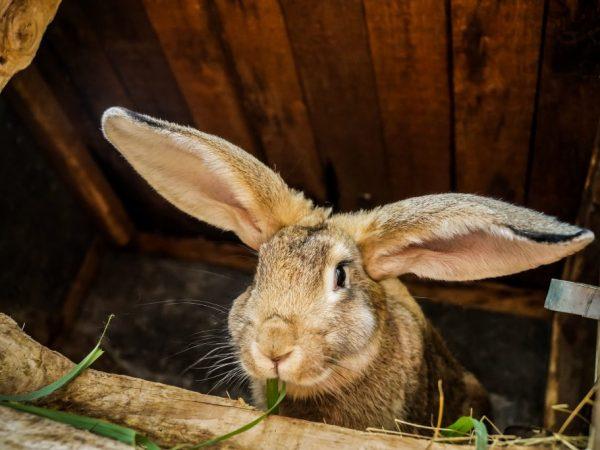Применение соликокса для кроликов